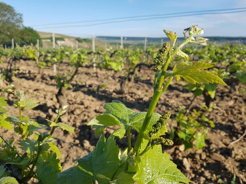 Vignes au printemps près de Damery