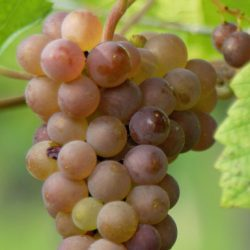 Pinot Gris (grappe)